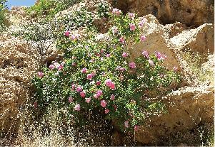 圖片:波斯野生錦緞玫瑰